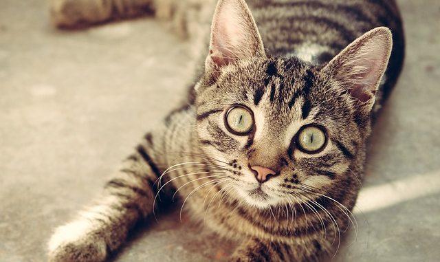 Galeria Rasowych Kotów Koty