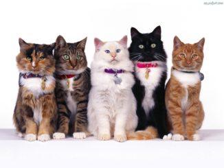 rozne-rasy-kotow