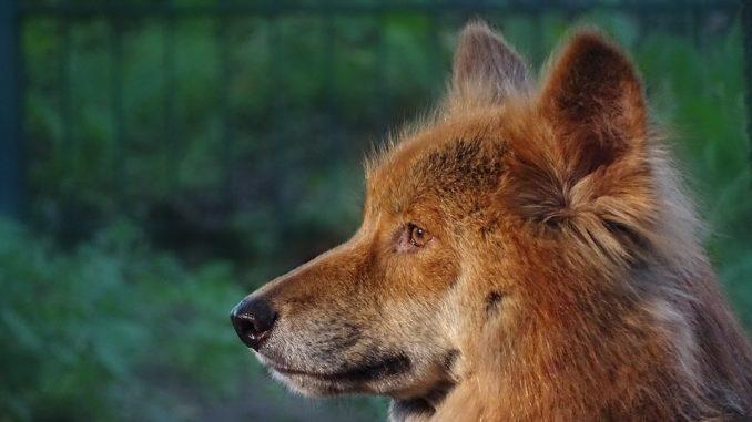 Pies-dingo-2