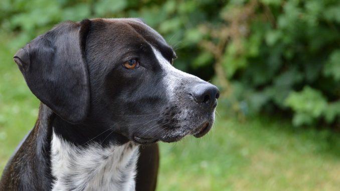 Pies-myśliwski-1